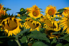 Blossom sunflower field Royalty Free Stock Photo