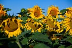 Blossom sunflower field Royalty Free Stock Photo