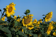 Blossom sunflower field Royalty Free Stock Photography