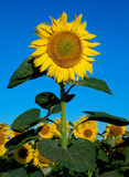 Blossom sunflower Royalty Free Stock Images