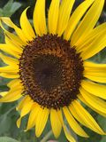 Blossom sunflower Stock Image