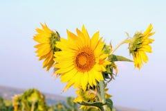 Blossom Sunflower image background. Three Blossom Sunflower image background stock images