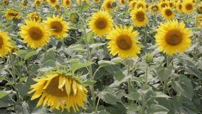 Blossom Of Sunflowers. stock video