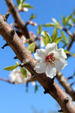Blossom on sweet almond tree (Species: Prunus amygdalus, syn. Pr Stock Photo