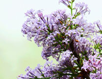 Blossom of Syringa Linn Royalty Free Stock Photo