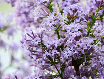 Blossom of Syringa Linn Stock Images