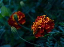 Tagetes flowers with leafs on dark background royalty free stock photography