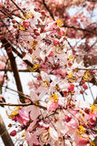 Blossom Thailand Royalty Free Stock Photo