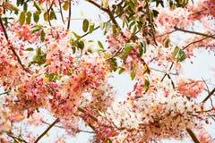 Blossom Thailand Stock Photo