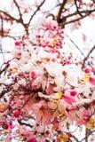 Blossom Thailand Stock Photos