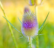 Blossom of thistle in the meadow Royalty Free Stock Images