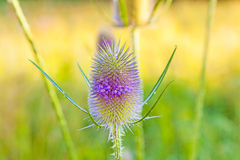 Blossom of thistle in the meadow Royalty Free Stock Photo