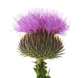 Blossom of thistle with thorns stock photography