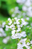 Blossom thyme Stock Image