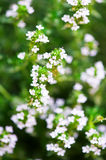 Blossom thyme branch Royalty Free Stock Image