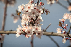 Blossom time Royalty Free Stock Photography