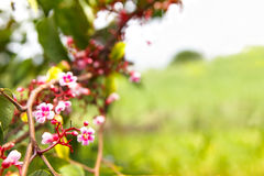 Blossom tiny pink flower, star fruit tree branch Stock Photos