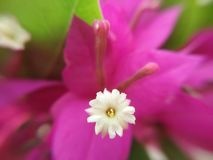 Blossom tiny white floret on pink Bougainvillea glabra or Paper flower, macro. Closeup blossom tiny white floret on pink Bougainvillea glabra or Paper flower stock photos