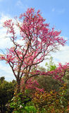 Blossom tree Royalty Free Stock Image