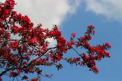 Blossom tree. Spring blossom agains blue sky Stock Images