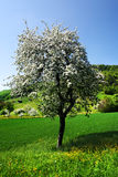 Blossom tree. Spring blossom tree on the field royalty free stock photography