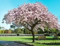 Blossom tree. Spring blossom tree on a sunny day Stock Photo