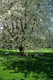 Blossom on Tree. Cherry blossom on tree in spring time Royalty Free Stock Photos