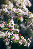 Blossom tree Royalty Free Stock Photo