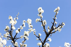 Blossom tree Royalty Free Stock Photography
