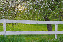 Blossom tree. Spring blossoms on tree and white fence Royalty Free Stock Photography