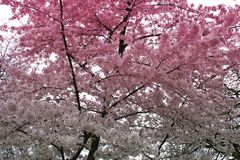 Blossom tree. A tree with white and pink blossom royalty free stock photos