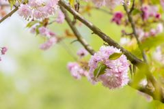 Blossom tree over nature background Stock Image