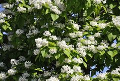 Blossom Tree background from Park Jacques Cartier from Gatineau in Ontario Province. On 26th June 2017 Royalty Free Stock Photos