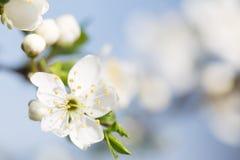 Blossom Stock Photography