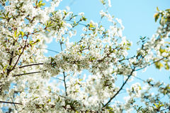 Blossom tree branch. Cherry flowers in spring. Royalty Free Stock Photo