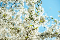 Blossom tree branch. Cherry flowers in spring. Stock Photos