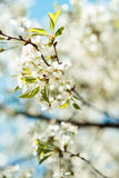 Blossom tree branch. Cherry flowers in spring. Stock Photo