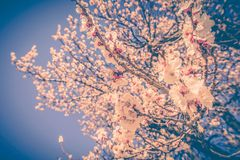 Blossom Tree Branches Royalty Free Stock Photos