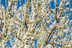Blossom Tree Branches With White Flowers Stock Photos