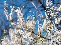 Blossom Tree Branches With White Flowers Royalty Free Stock Photo