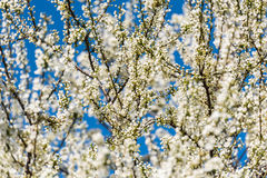 Blossom Tree Branches With White Flowers Royalty Free Stock Photos