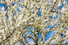 Blossom Tree Branches With White Flowers Stock Image