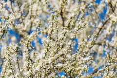 Blossom Tree Branches With White Flowers Stock Photo