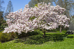 Blossom Tree in Hyde Park, London Royalty Free Stock Photography