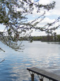Blossom tree, lake, pontoon in a park. Blossom bunch on blue sky Royalty Free Stock Photo