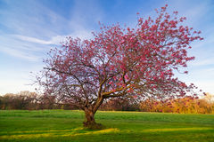 Blossom tree in Morning Light. A tree full of springtime pink blossom is shown in the early morning light . Taken in Norfolk, Englan Royalty Free Stock Photo
