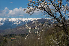Blossom tree in mountains Royalty Free Stock Photo