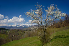 Blossom tree and mountains. White blossom tree against the mountain background. Springtime in Transilvania (Romania Stock Image