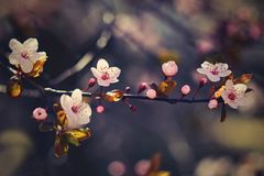 Blossom tree. Nature background in sunny day. Spring flowers. Beautiful Orchard and abstract blurred background. Concept for sprin Stock Photography