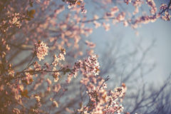 Blossom tree over nature background Royalty Free Stock Photos